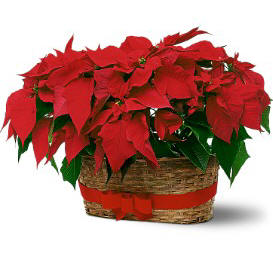Double Poinsettia Basket - Standard