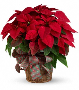 Red Poinsettia - Standard