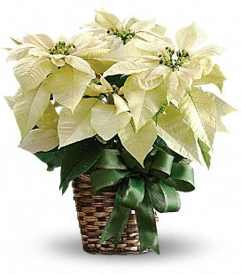 White Poinsettia - Standard